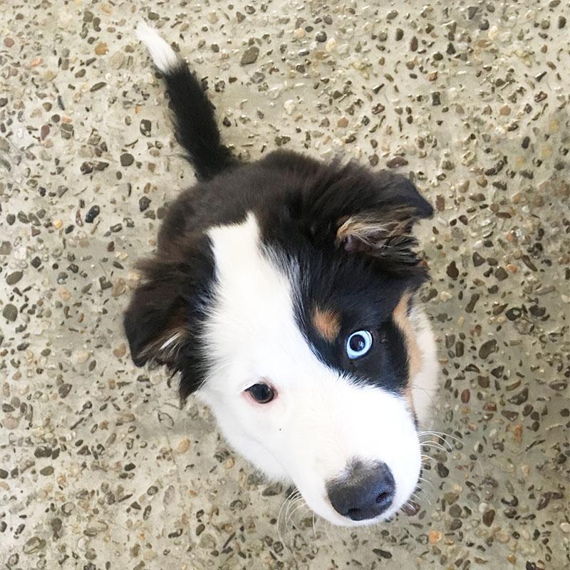 Australian Sheperd sitzt und schaut in die Kamera, er hat zwei verschiedende Augenfarben. Eins ist eisblau, das andere braun-grün.
